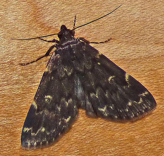 Grey Moth, Scalloped Markings - Idia
