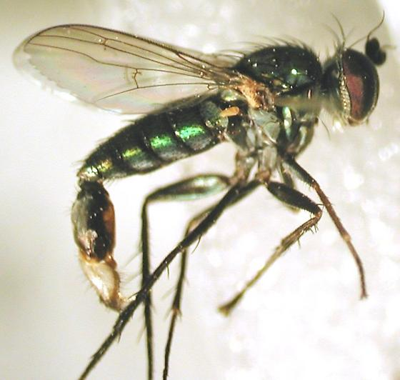Dolichopus_acuminatus-1 - Dolichopus acuminatus - male