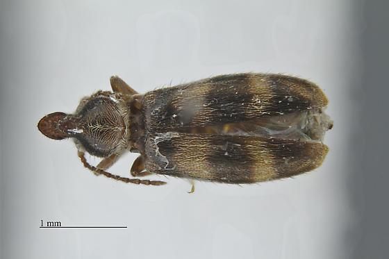 Notoxus - Notoxus montanus