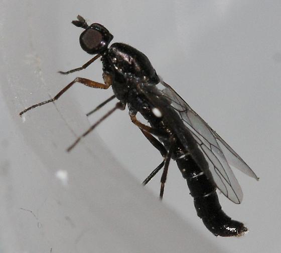 Indoor fly - Pseudatrichia