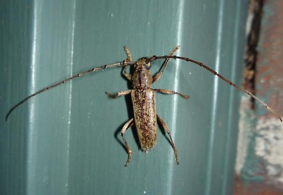 Longhorned Beetle - Parelaphidion aspersum