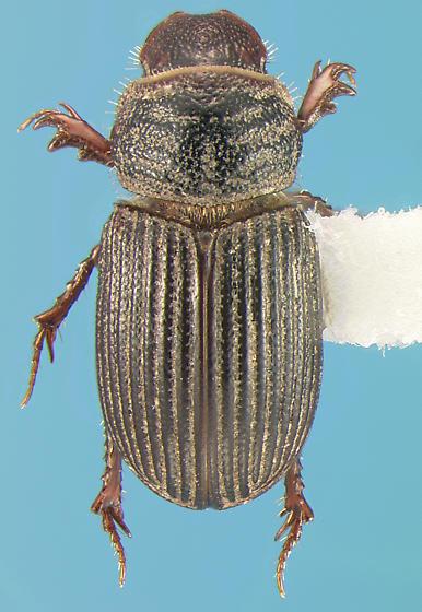 Scarab - Neopsammodius interruptus