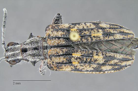 Beetle - Rhagium inquisitor