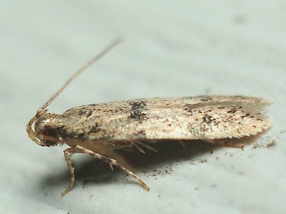 Autostichidae sp.