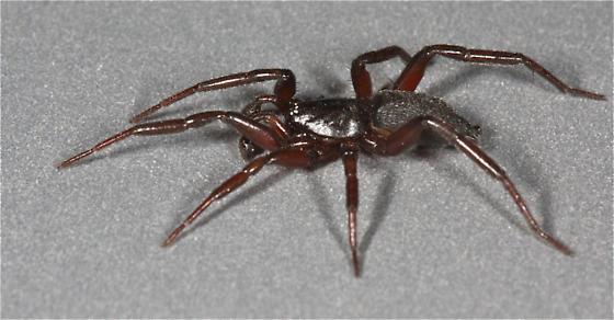Ground Spider - Trachyzelotes lyonneti - male
