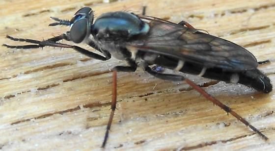 Stiletto Fly with Dark Wings - Ozodiceromyia nigrimana - female