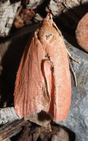 Orange Moth - Himmacia huachucella