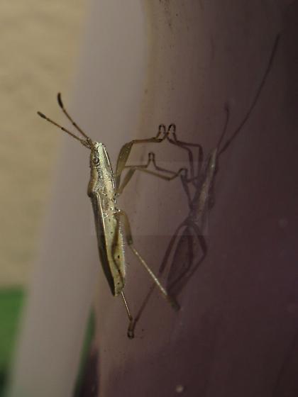 Broad-headed Bug (Darmistus subvittatus) - Darmistus subvittatus