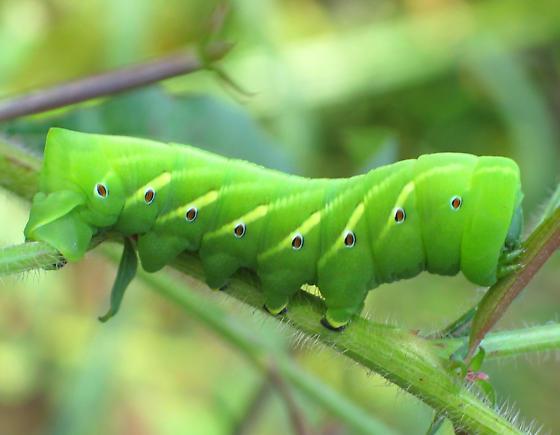 Green Version - Eumorpha fasciatus