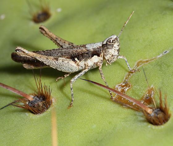 Horesidotes cinereus - female