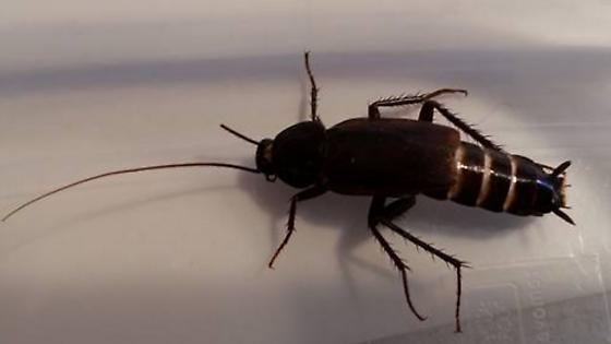 Turkestan Cockroach - Blatta orientalis