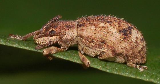 Sciaphilus asperatus? - Pseudoedophrys hilleri