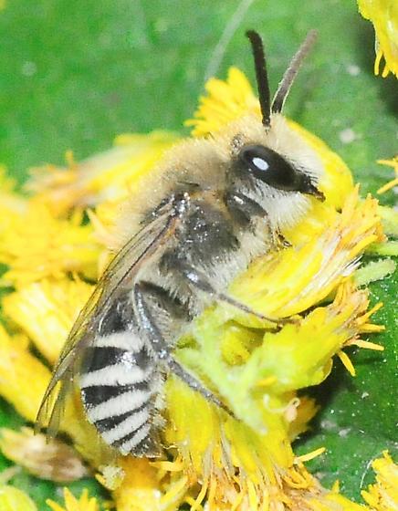 Anthophila (Apoidea) - Bees - Colletes kincaidii