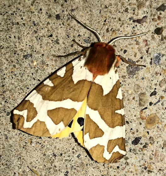 Moth ID - Arctia caja