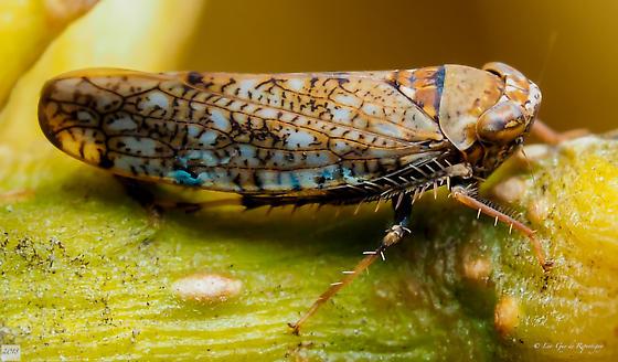 Hemiptera. Cicadellidae. - Orientus ishidae