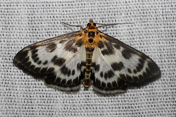 Moth sp. - Anania hortulata