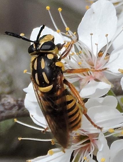 Hover Fly,  Syrphidae Chrysotoxum? - Sphecomyia vittata