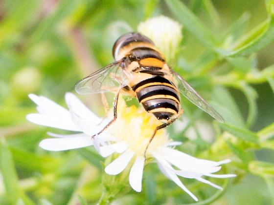 a beautiful syrphid fly - Eristalis? - Eristalis transversa