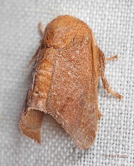 Crowned Slug Moth - Isa textula - male