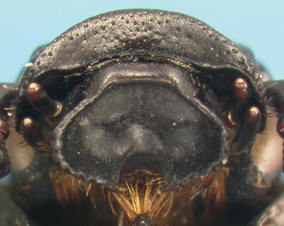 Scarab - Cremastocheilus castaneae