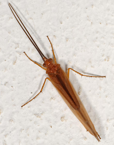 large orange caddisfly - Pycnopsyche