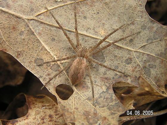 Nursery web spider  (Pisaurina mira) - Pisaurina mira