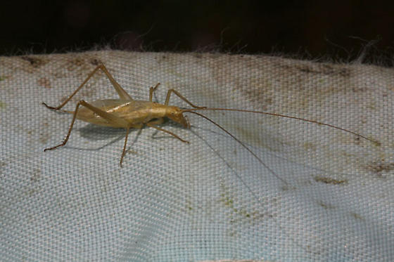 Tree Cricket from Oregon - Oecanthus - male
