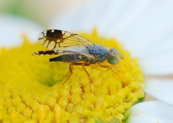 Pretty sure it's Trupanea, but any idea of which species? - Trupanea vicina - female