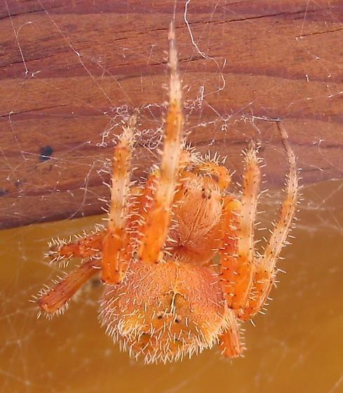 Cat-Faced Spider - Araneus illaudatus - female