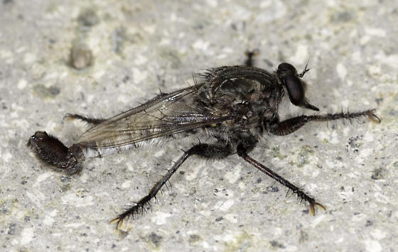 Robber fly - Efferia - male