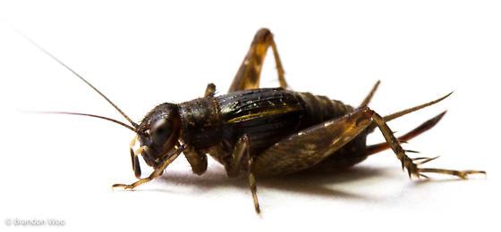 Neonemobius cubensis - female