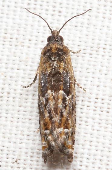 Unidentified moth - Chimoptesis gerulae
