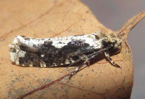 Filigreed Chimoptesis  - Chimoptesis pennsylvaniana