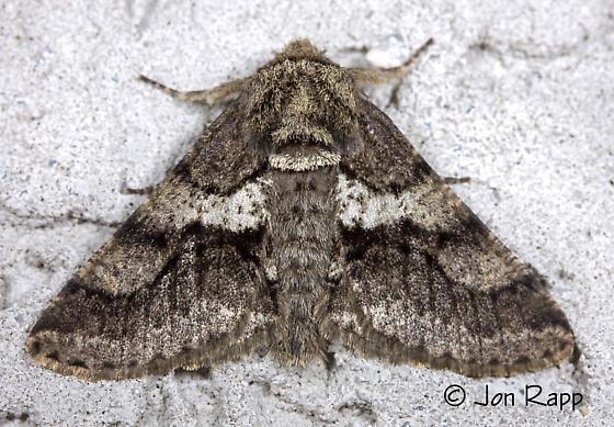 Woolly Gray Moth - Lycia ypsilon - male