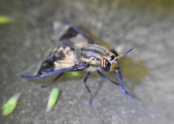 Dipterid - Chrysops callidus