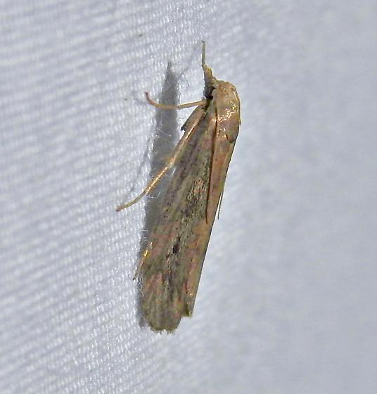 moth - Aphomia terrenella
