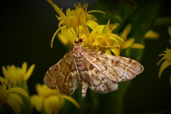Moth on Solidago odora - Anageshna primordialis