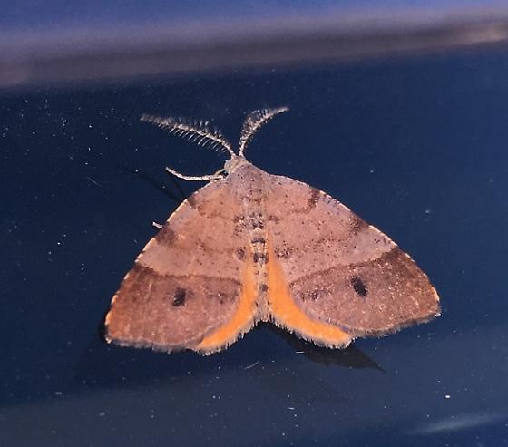 Orangewing Moth - Mellilla xanthometata - male