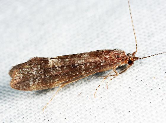 caddisfly - Ceraclea transversa - male