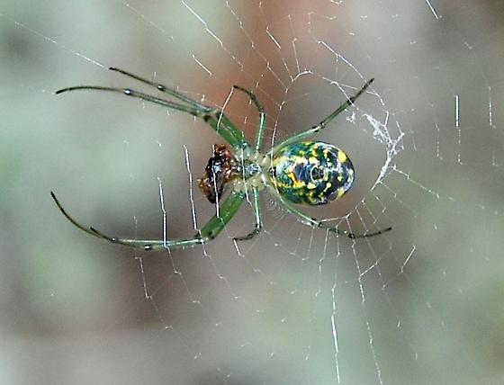 Orchard Orbweaver with prey - Leucauge venusta - female