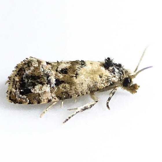 Cochylichroa hoffmanana - male