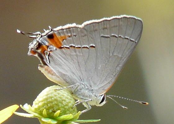 Unknown Hairstreak Butterfly - Strymon melinus - male