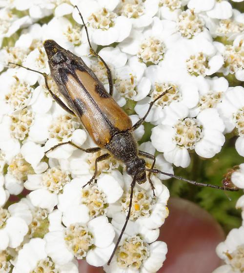 Leptura - Etorofus propinquus
