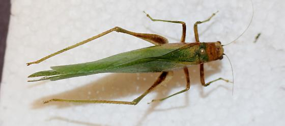 Tettigoniidea? - Microcentrum - female
