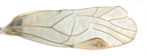 Psocidae, Common Barklice, wing - Blastopsocus lithinus - female