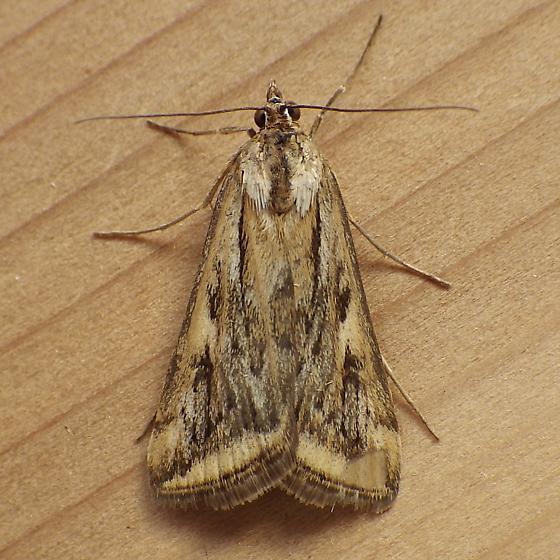 Crambidae: Loxostege cereralis - Loxostege cereralis