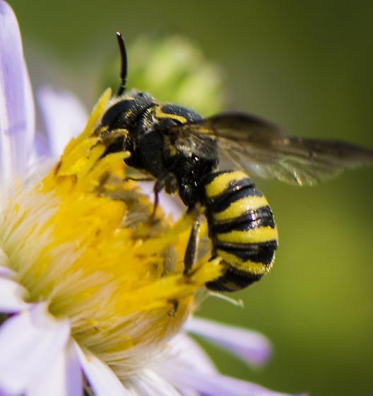 bee - Stelis laticincta