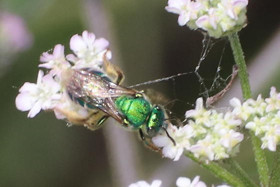 Green bee - Augochloropsis