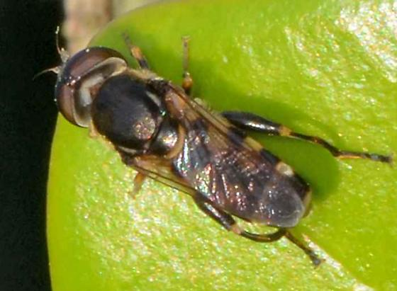 ? - Tropidia albistylum - female