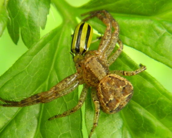 Ground Crab Spider and Prey - Xysticus